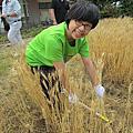 2014九州麥穗之旅_收割小麥體驗