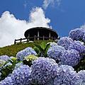 120602-金針山繡球花~