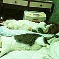 2013貓孩子生活照