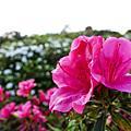 東村杜鵑花