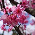 日本最早的春天_沖繩櫻花季(與儀公園)
