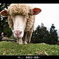 我在清境,和羊咩咩玩耍。