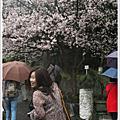2009櫻花飛舞
