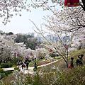 2017韓櫻吹雪