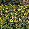 拈花惹草居家篇~陽光的向日葵