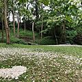四月雪的美麗~綻放的油桐花