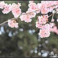 20110324 阿里山櫻花