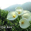 2015-4-3 竹子湖海芋季