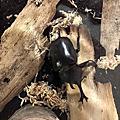 我的甲蟲王者-台灣獨角仙