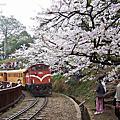 2006年阿里山吉野櫻花季
