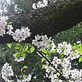 阿里山花季2004