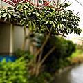澳洲鴨腳木