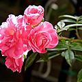 樹玫瑰--粉紅滿天星
