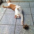 貓咪愛吃貓草