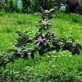 水蓮木--紫花捕魚木