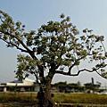 苦楝樹—開滿了紫色清香的花蕊