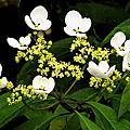 華八仙—花器變異