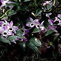 春石斛—美花石斛
