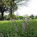 半枝蓮—狹葉韓信草、向天盞