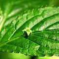 臺灣青莢葉—葉長花、葉上珠