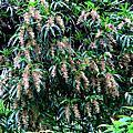 樹絨蘭—台灣原生蘭赤色毛花蘭
