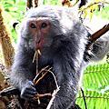 有台灣獼猴出沒--母子情深