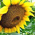 向日葵—大自然界的費氏數列