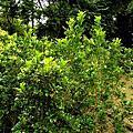 樹蘭—花小如米粒珍珠蘭