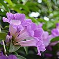蒜香藤—張氏紫薇,紫鈴藤
