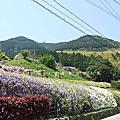 紫色的漂亮・5月北九州藤花盛開的河內藤園