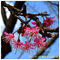 2011-02-07 春綻陽明滿山櫻
