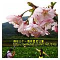 2011-03-05 宛若人間仙境的竹子湖.採海芋