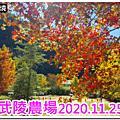 2020.11.26《武陵農場》楓葉紅、銀杏黃、菊花開,不出國大賞深秋美景~~