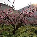 2014武陵桃花季