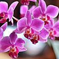 阿爸種ㄟ蝴蝶蘭