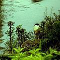 影像重疊創作013  --- 鳥之愛系列創作(二)水鳥風情