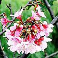 2017 賞櫻系列(一)內溝溪自然生態樂活步道寒櫻與其它花種
