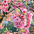 2018.02.17~18     台北東湖樂活公園寒櫻與八重櫻