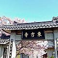 2018.03.28      陽明山東方寺吉野櫻