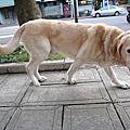 高齡犬照顧 - 走路不穩