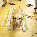 高齡犬照顧 - 大寶持續作電氣針灸7月8日第2次