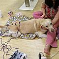 高齡犬照顧 - 大寶持續作電氣針灸7月12日第3次