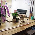 高齡犬照顧 - 大寶持續作電氣針灸7月18日第4次