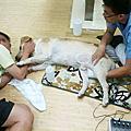 高齡犬照顧 - 大寶持續作電氣針灸8月9日第8次