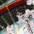 天元宮 又見櫻花