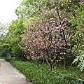平鎮櫻花步道