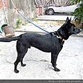 阿嬤家的台灣犬??