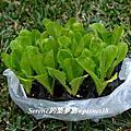 Planting Romain Lettuce