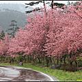 20100218 - 武陵櫻花