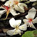 2010/04/24 員林藤山步道‧遊桐花